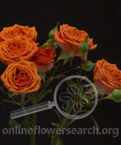 Spray Rose Bright Sensation@