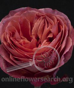 Rose Dark X-pression