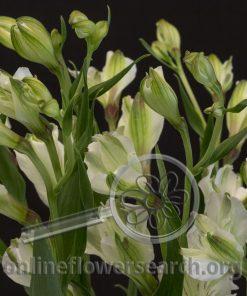 Spray Alstroemeria (aka Florinca) Vogue (Gavogue)