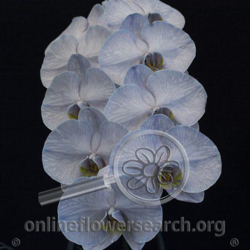 Orchid Phalaenopsis stem Tinted Grey