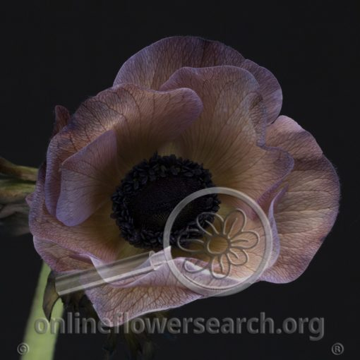 Anemone Dyed Browny
