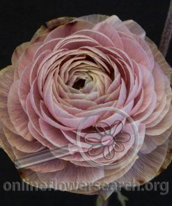 Ranunculus Elegance Browny