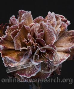 Carnation Dyed Browny