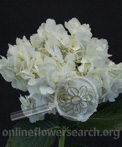 Hydrangea White Premium/Designer