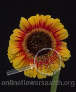 Gerbera Mini Bicolor Yellow Black Center