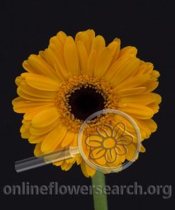 Gerbera Mini Dark Yellow Black Center