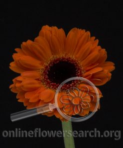 Gerbera Mini Dark Orange Black Center