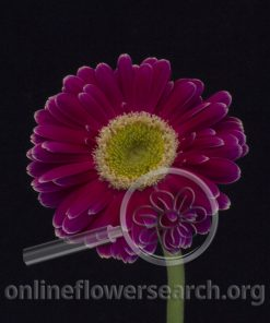 Gerbera Mini Purple