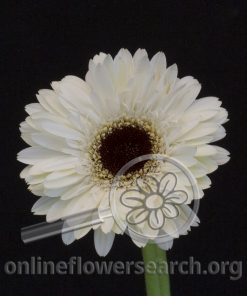 Gerbera Mini White Black Center