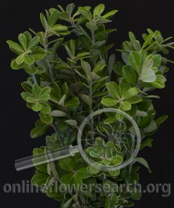Pittosporum Ralphii
