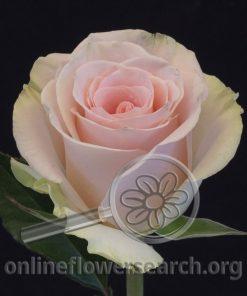 Rose Blessing