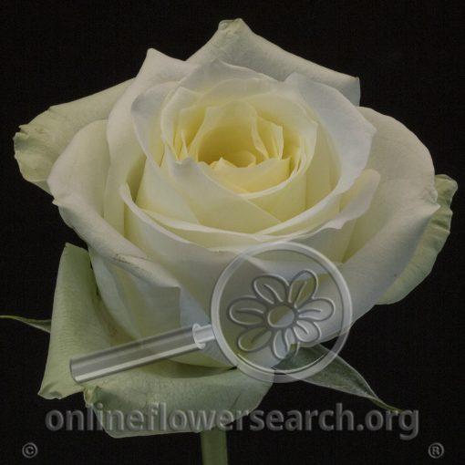 Rose Sonata