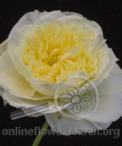 Rose Patience (Auspastor)