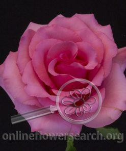Rose Gigi