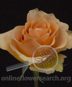 Rose Cuenca