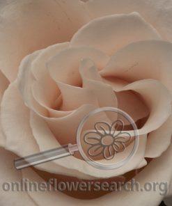 Rose Sweet Bliss