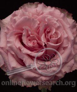 Rose Wild Espérance (Wild Esperance)