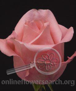 Rose Bambina