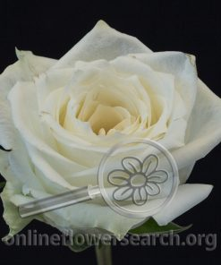 Rose Highlight (NEW)