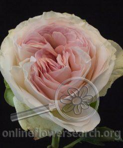 Rose Austin