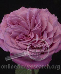 Rose Queens Crown