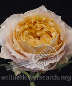 Rose Shine On