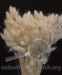 Dried Bleached Lagurus