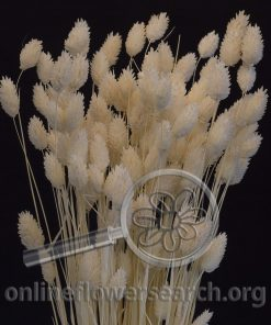Dried Bleached Phalaris