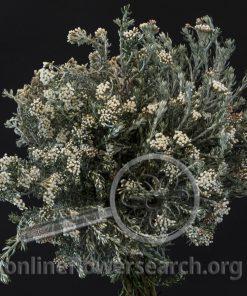 Ozothamnus - Rosemary Everlasting