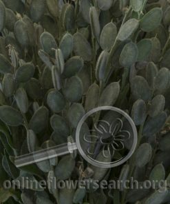 Fibigia clypeata