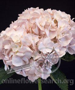 Hydrangea Blush (Light Pink)