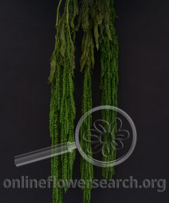 Dried Bleached Dyed Amaranthus Green