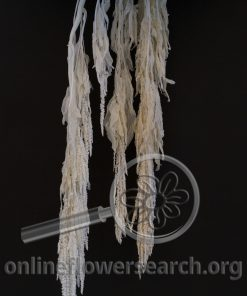 Dried Bleached Amaranthus White