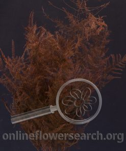 Dried Dyed Plumosa Burgundy
