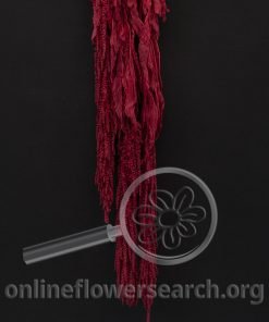 Dried Bleached Dyed Amaranthus Red
