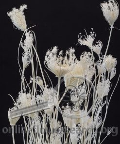 Dried Bleached Fennel Flower