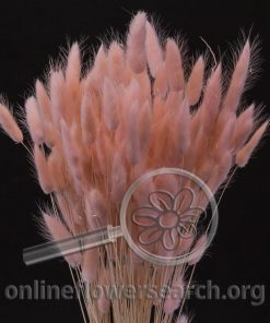 Dried Bleached Dyed Lagurus Pink
