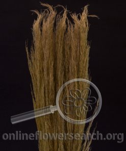 Dried Dyed Pampas Grass Brown