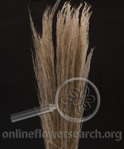 Dried Dyed Pampas Grass Caramel