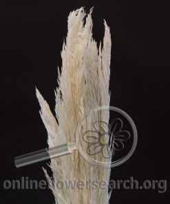 Dried Bleached Pampas Grass