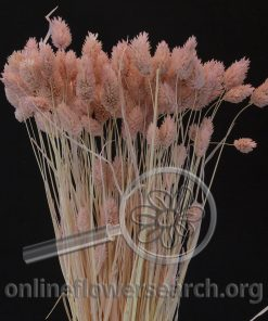 Dried Bleached Phalaris Pink