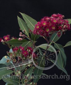 Eucalyptus Flowering Hot Pink