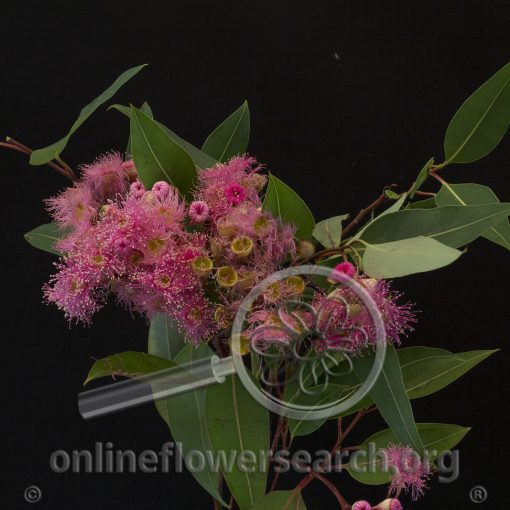 Eucalyptus Flowering Light Pink