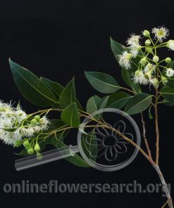 Eucalyptus Flowering White