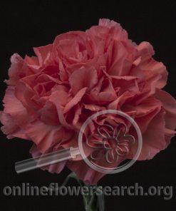 Carnation Corallo