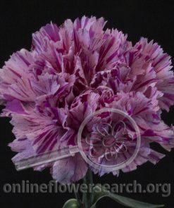 Carnation Jubilee