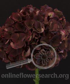 Hydrangea Magical Chocolate
