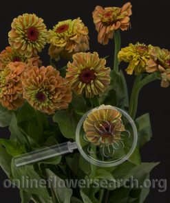 Zinnia Orange Queen