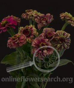 Zinnia Red Queen