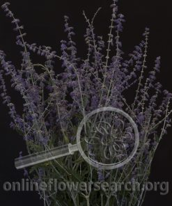 Russian Sage 'Rocketman'
